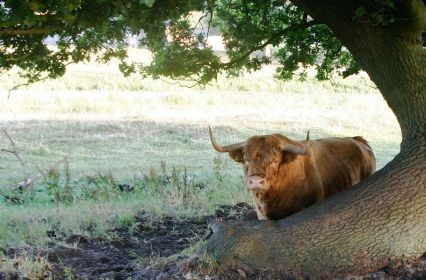 Vechtdal koe Johan Poffers.jpg